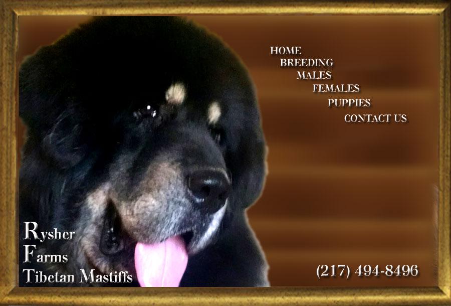 Tibetan mastiff puppies for sale | Pleasant Plains, IL